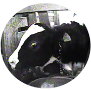 http://www.mercyforanimals.org/veal/