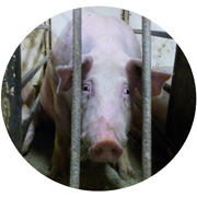 http://www.mercyforanimals.ca/pigcruelty/