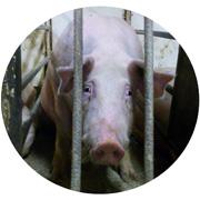http://www.mercyforanimals.ca/pigcruelty/