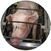 http://www.mercyforanimals.org/pigs/