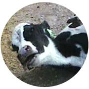 http://www.mercyforanimals.org/calves/