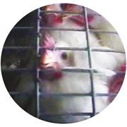 http://www.mcdonaldscruelty.com/