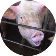 http://www.walmartcruelty.com/learnmore.php#tyson