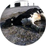 http://www.mercyforanimals.org/dairy/